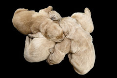 Fondo nero dei cuccioli di golden retriever fotografia stock libera da diritti