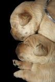 Fondo nero dei cuccioli di golden retriever immagini stock