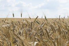 Fondo nublado del cielo azul del campo de trigo Imágenes de archivo libres de regalías