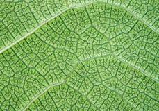 Fondo o textura verde enorme del primer de la hoja imagen de archivo libre de regalías