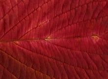 Fondo o texturas rojo de la hoja Fotografía de archivo
