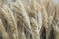 Fondo orecchie dorate del primo piano di macro e verdi del grano nel campo Immagine Stock Libera da Diritti