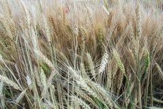 Fondo orecchie dorate del primo piano di macro e verdi del grano nel campo Immagini Stock Libere da Diritti