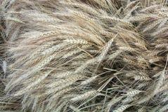 Fondo orecchie dorate del primo piano di macro e verdi del grano nel campo Immagine Stock