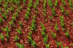 Fondo organico di ecologia Un giardino di tutte le stagioni Foglie verdi dei tulipani che crescono in solido immagini stock libere da diritti