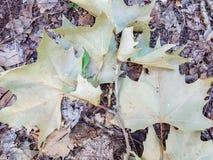 Fondo organico di struttura del primo piano naturale delle foglie verdi immagini stock libere da diritti