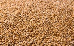 Fondo organico elaborato di struttura dei grani del grano Fotografie Stock Libere da Diritti