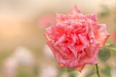 Fondo original del verano de la rosa del blanco y del rosa Foto de archivo libre de regalías