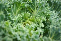 Fondo ornamental de la verdura de la col Imagen de archivo