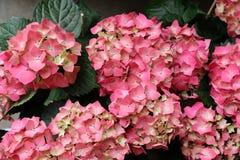 Fondo ortensia o di macrophylla rosa dell'ortensia, vista superiore Immagine Stock Libera da Diritti