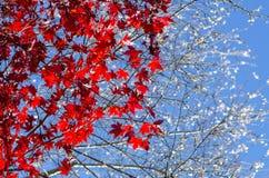 Fondo otoñal, hojas de arce rojas con Sakura blanco imagenes de archivo