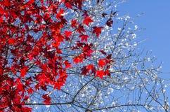 Fondo otoñal, hojas de arce rojas con Sakura blanco imagen de archivo libre de regalías