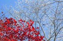Fondo otoñal, hojas de arce rojas con Sakura blanco fotografía de archivo