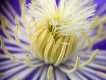 Fondo púrpura-amarillo hermoso del flor de la flor de loto foto de archivo libre de regalías