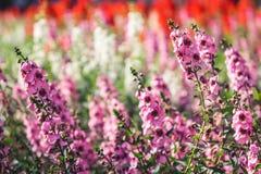Fondo púrpura de campo de flor de la lavanda Imagenes de archivo