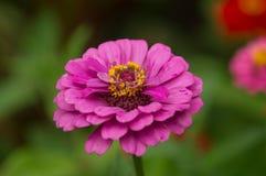 Fondo púrpura de la flor fotos de archivo libres de regalías