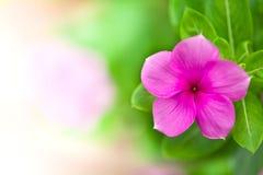 Fondo púrpura de la flor imágenes de archivo libres de regalías
