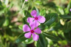 fondo púrpura de la naturaleza del primer del pequeño rosa de la flor Foto de archivo libre de regalías