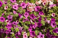 Fondo púrpura de la petunia Foto de archivo