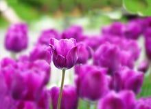 Fondo púrpura de los tulipanes Fotografía de archivo libre de regalías