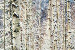 Fondo pacifico dei tronchi di albero della betulla, giorno di inverno soleggiato, paesaggio nevoso fotografia stock