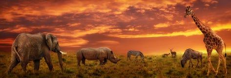 Fondo panorámico de la puesta del sol africana con la silueta de animales fotografía de archivo libre de regalías