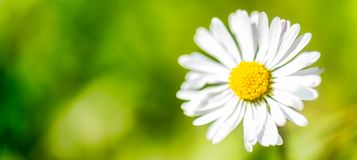 Fondo panoramico di verde del fiore della margherita bianca dell'insegna Fotografia Stock