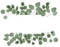 Fondo per testo dall'eucalyptus eucalyptus grigio e verde I Immagine Stock