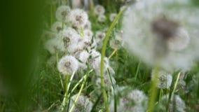 Fondo perfecto de la primavera por los dientes de león y la hierba verde fresca metrajes