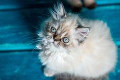Fondo persiano del blu del gattino Fotografia Stock