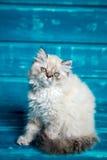 Fondo persiano del blu del gattino Fotografia Stock Libera da Diritti
