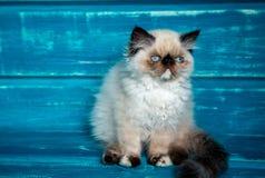 Fondo persiano del blu del gattino Fotografie Stock Libere da Diritti
