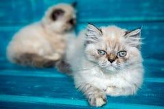 Fondo persiano del blu del gattino Immagini Stock