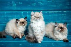 Fondo persiano del blu del gattino Immagine Stock Libera da Diritti