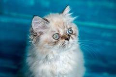 Fondo persiano del blu del gattino Immagini Stock Libere da Diritti