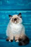 Fondo persiano del blu del gattino Fotografie Stock