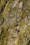 Fondo pesadamente texturizado de la corteza de árbol cubierto en musgo fotos de archivo