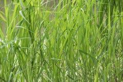 Fondo, piante verdi, foglie a lamella fotografie stock