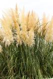 Fondo plumoso de la hierba al aire libre imagenes de archivo