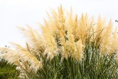 Fondo plumoso de la hierba al aire libre foto de archivo libre de regalías
