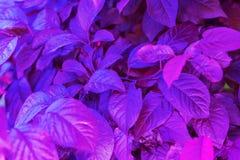 Fondo porpora delle foglie fresche immagine stock