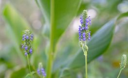 Fondo porpora di Chia Flower Spikes Immagine Stock