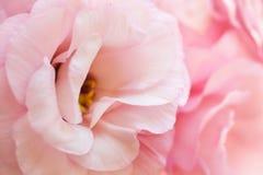 Fondo puro rosado romántico del eustoma Imágenes de archivo libres de regalías