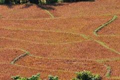 Fondo raccolto del giacimento del riso. Immagine Stock
