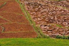 Fondo raccolto del giacimento del riso. Immagine Stock Libera da Diritti