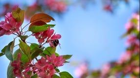 Fondo Rama floreciente del Apple-árbol en un cielo azul Imagen de archivo