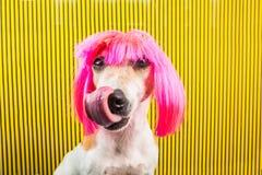 Fondo rayado el perro se lame que espera una invitación sabrosa Comida y bocados para un perro hambriento Peluca rosada divertida imagen de archivo libre de regalías