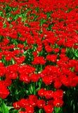 Fondo rojo abstracto del campo de los tulipanes Imagen de archivo