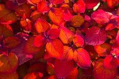 Fondo rojo brillante del follaje de la hoja de la visión superior Arbusto ornamental del coleo del pelirrojo imagen de archivo