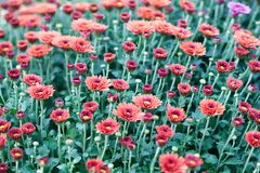 Fondo rojo de campo de flores del crisantemo Aún vida floral con muchas momias coloridas Hojas verdes y amarillas en un tronco de Foto de archivo libre de regalías